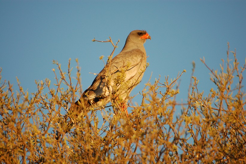 Transfrontier National Park: falco