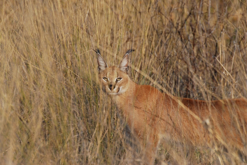 Kutse Game Reserve: Caracal