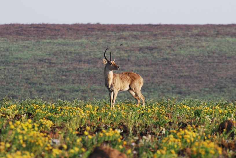 Nyika National Park: cervicapra