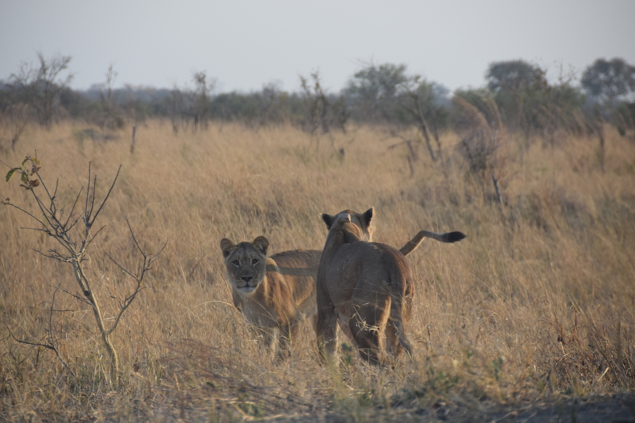 Hwange National Park, leonesse nei pressi di Main Camp